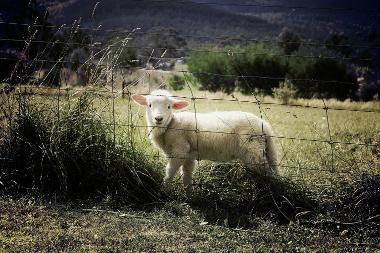 lamb, sheep, farm